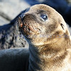 A young sea lion on the rocky beach of the Galapagos Islands