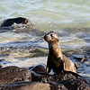 This baby Sea Lion was caught enjoying himself on the shores of the Galapagos Islands, Ecuador