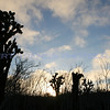 Beautiful Prickly Pear Cactus silhouette a blue sky at sunset