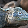 A beautiful blue hued marine Iguana in the Galapagos Islands