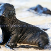 This adorable Baby Sea Lion is playing on the shore of Santa Fe island in the Galapagos islands