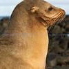 A beautiful Sea Lion watching the shoreline