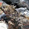 Marine Iguana found on the Galapagos Islands