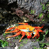 A colorful Sally Lightfoot crab tries to hide amonst the volcanic rocks