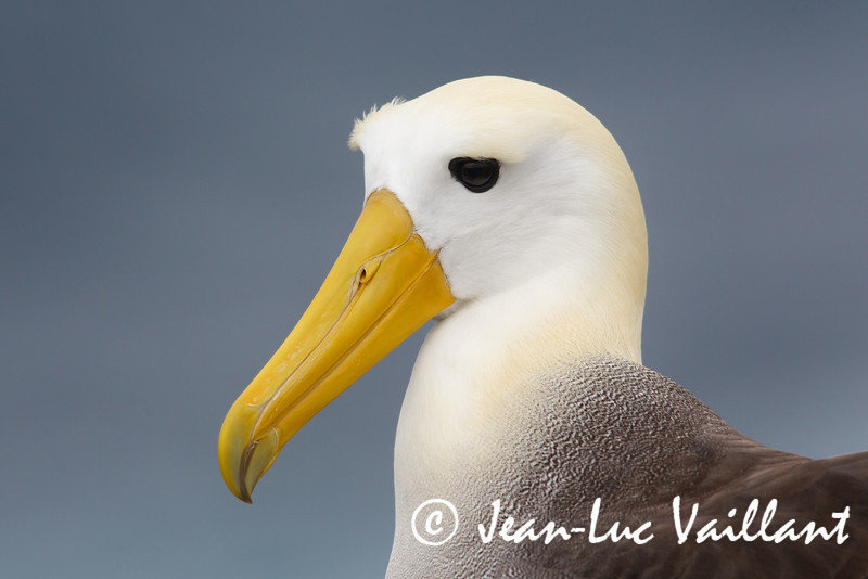Waved Albatros