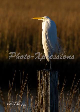 White egret_5903