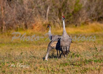 sandhill cranes_6073