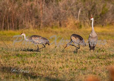 sandhill cranes_6085