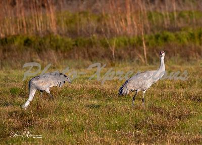 sandhill cranes_6018