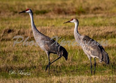 Sandhill cranes_6144