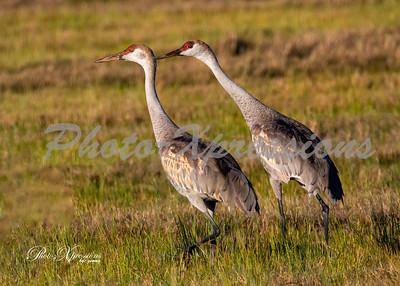 sandhill cranes_6038