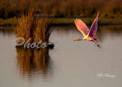 spoonbill in flight_5859