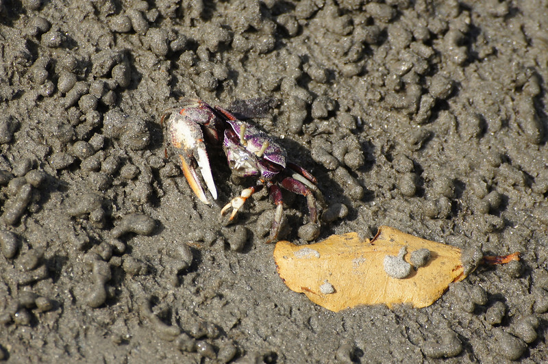 Fiddler crab emerging from its hole