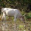 Fine Gambian cow