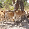 Calves at Tujerren Wood