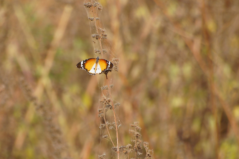 African Tiger butterfly at Kartong