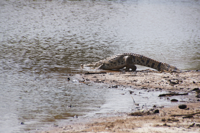 Nile crocodile leaving the scene as we approached