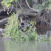 Chimp by river