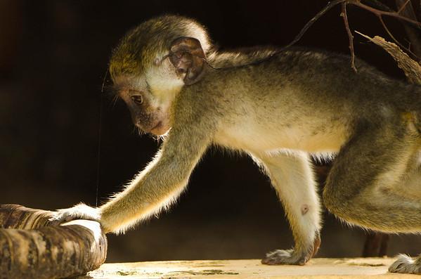 Gambia monkeys