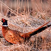 Ring Necked Pheasant in habitat