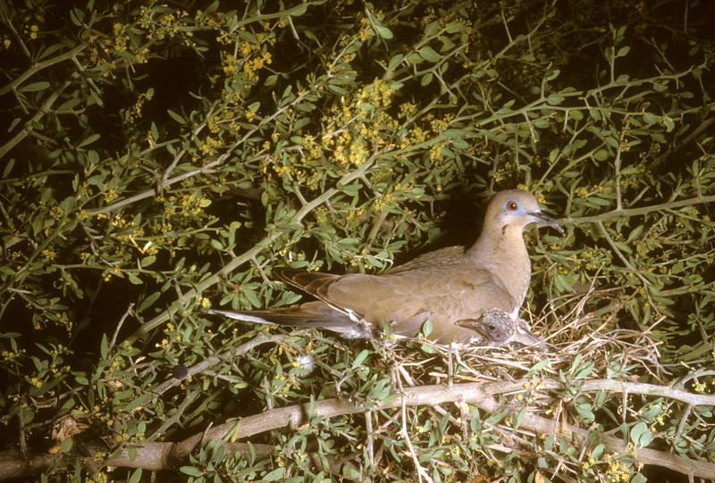 White-Winged Dove (<i>Zenaida asiatica</i>), Santa Elena Canyon, Big Bend National Park, Texas, 1958