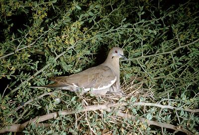 White-winged Dove (Zenaida asiatica), Santa Elena Canyon, Big Bend National Park, Texas