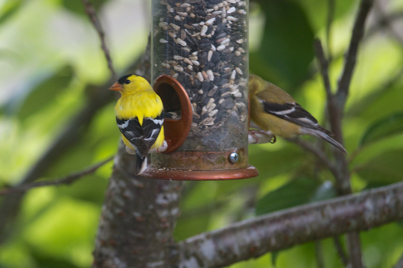 Goldfinches