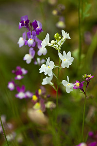 meadow flower mix