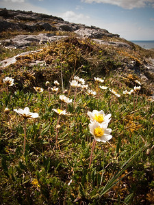 Mountain avens, the Burren, W. Ireland