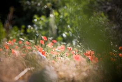 poppies, Gaucin, Spain