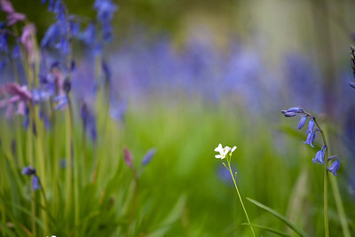 stitchwort and bluebells, Lindfield churchyard, Sussex
