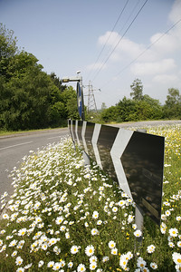 ox eye daisies on unmown roundabout, Crawley, West Sussex