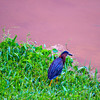 Despite the crappy weather, the sky colored the canal an awesome shade of pink. Here, a heron enjoys the view.