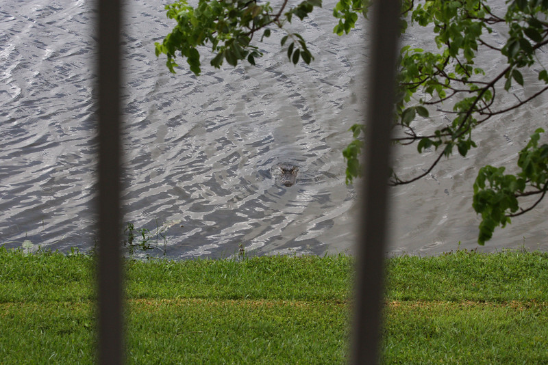 "So yeah, a gator rolled up on us yesterday evening. Tropical Storm Andrea dumped a lot of rain on us, which made the canals rise. And when the canal rises, this ""situation"" you see in between the bars can happen. However, this is the FIRST time ever that I have had a gator lurking this close to where I live. Notice how it is close to the grass. Good thing I live upstairs..."