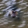 Lurking gator...