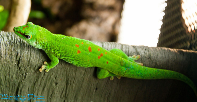 bright green  (the traditional gecko)