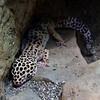 white lepord gecko
