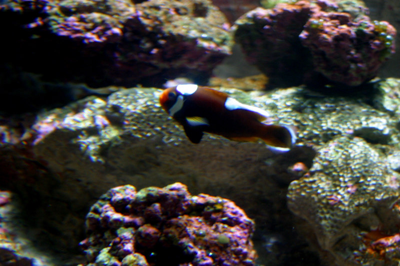 This tank had several types of clown fish.  Do you know how many people walked up to the tank and called it a 'nemo' fish?