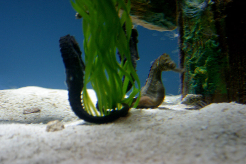 The seahorses were in their own small tank.  I was able to get close, but without a monopod I just couldn't get a sharp picture.