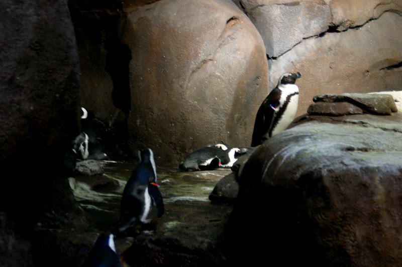 These are South American penguins, which is why there isn't snow and ice in the exhibit.  These guys are very friendly, and most of them were up against the glass looking at the people.