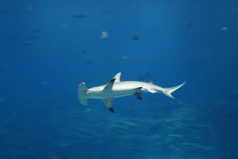 A nice view of the hammerhead shark
