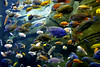 These are called 'cichlids' which are very common in smaller sizes for home aquariums
