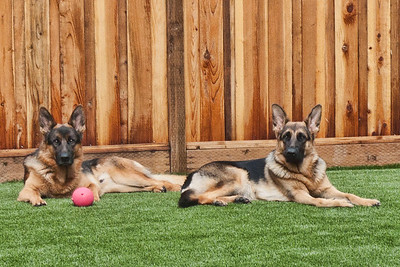 Monty and Mia resting on their new grass.