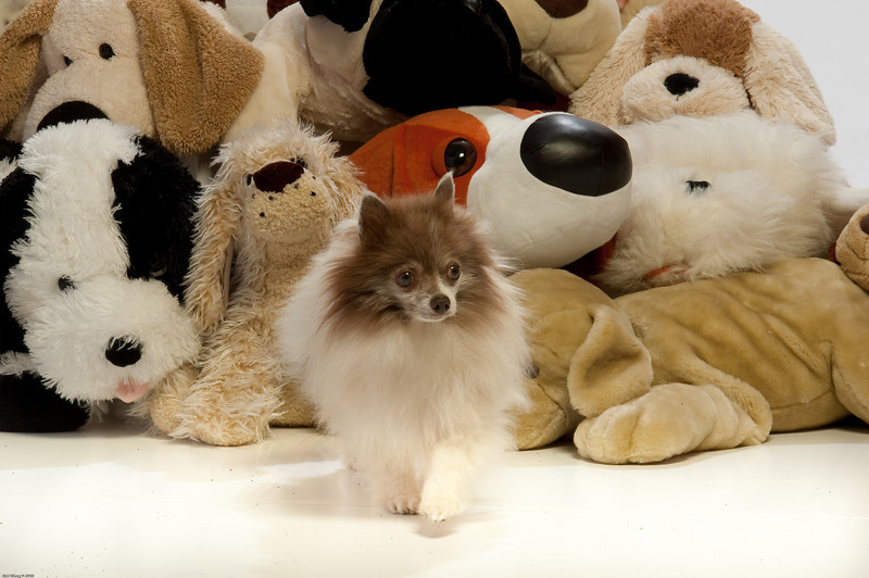 Willis the Pomeranian lived for the first 6 years of his life in a crate untill rescued by Gingers Pet Rescue