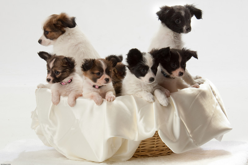Papillon pups rescued from puppy mill by Gingers Pet Rescue