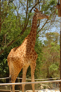 Giraffe at the Adelaide Zoo
