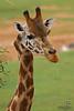 Kinky the Giraffe, at the Monarto Zoo