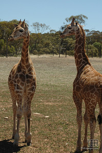 Giraffe at the Monarto Zoo