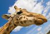 A Giraffe up close