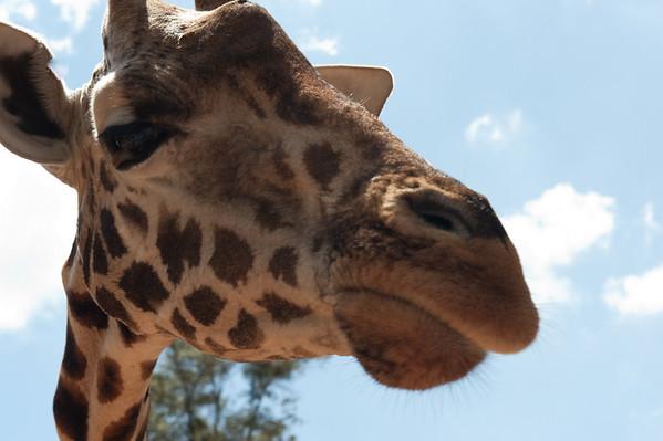 Giraffes & Warthogs